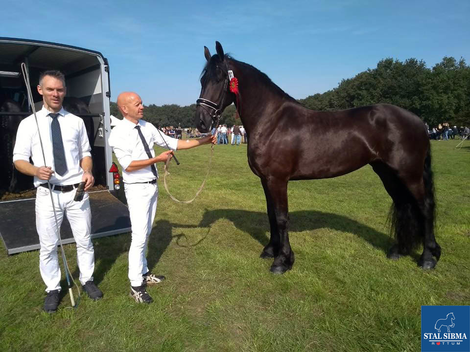 training preparing frisian horses exclusive scale