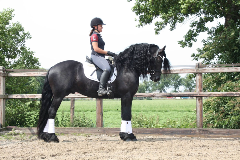 4 year old Star stallion for sale