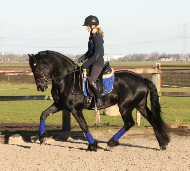 Friesian horse for sale Rimmer