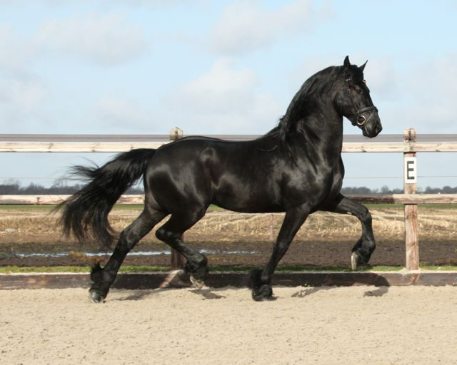 Friesian horses for sale and equestrian centre Sibma - Friesian