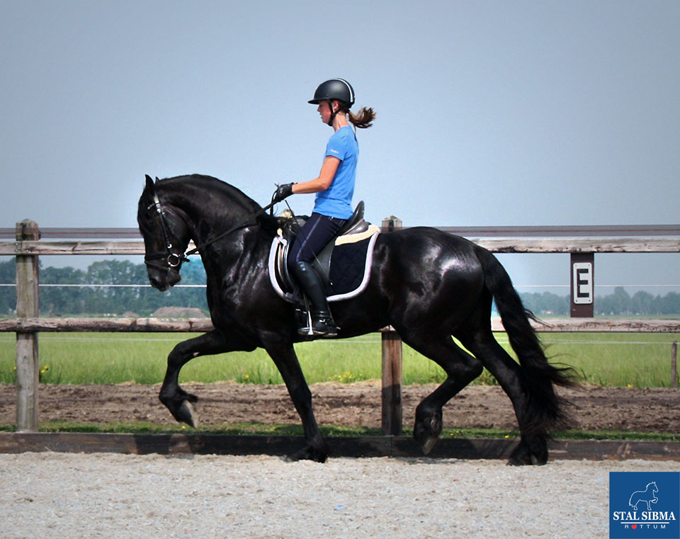wouter friesian for sale sibma netherlands