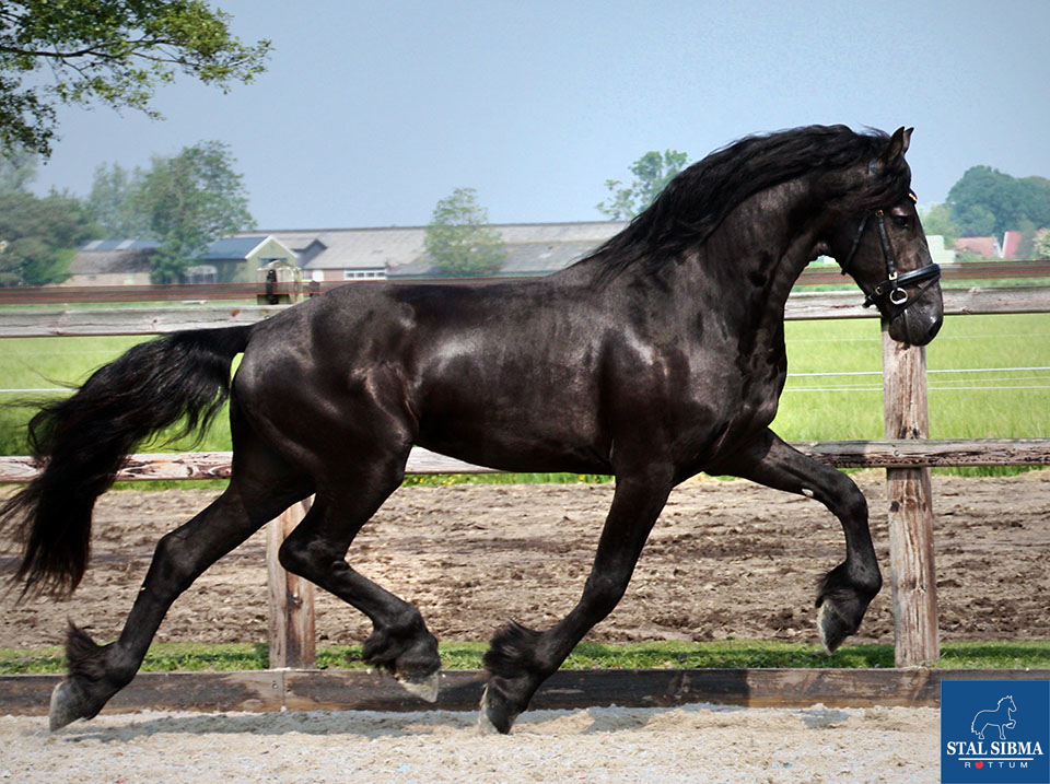 wouter friesian horse for sale