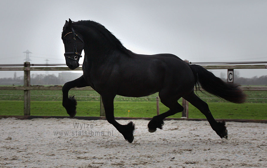 wytze frisian horse for sale stable sibma
