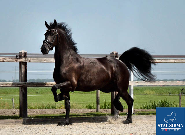 hilde for sale friesian mare