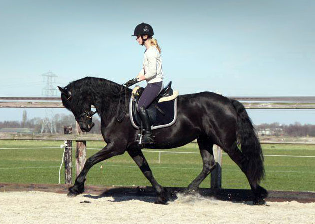 friesian mare queen for sale