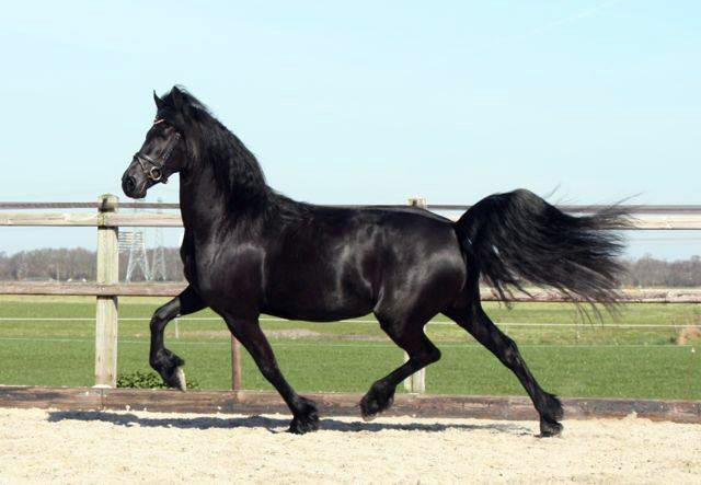 friesian mare queen stable sibma for sale